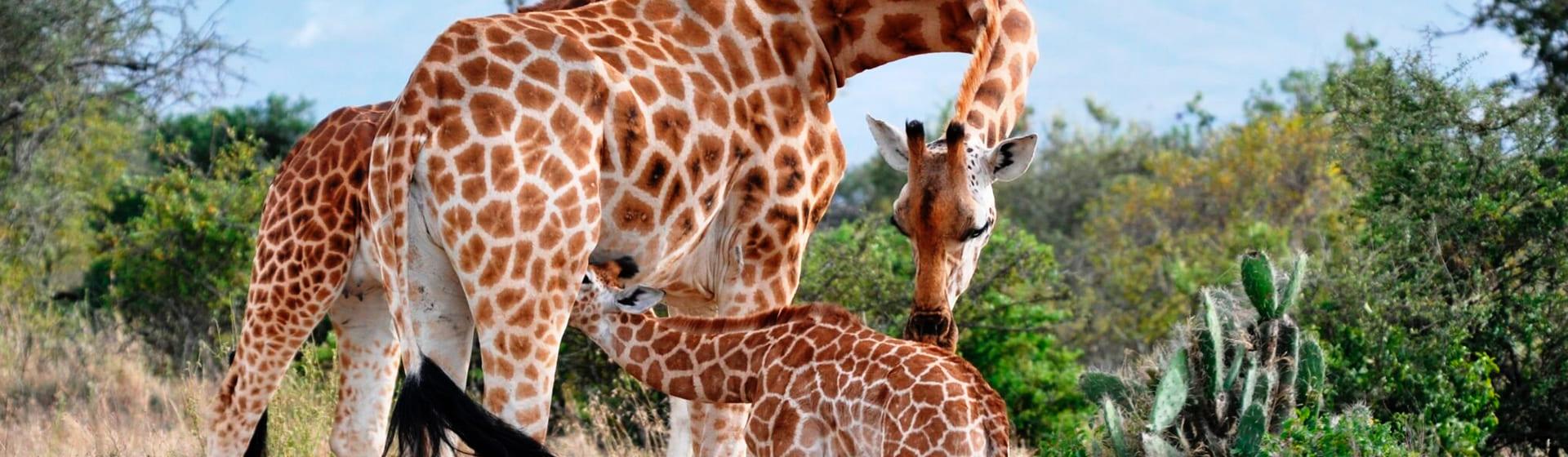 Жирафы - Мужские пижамы