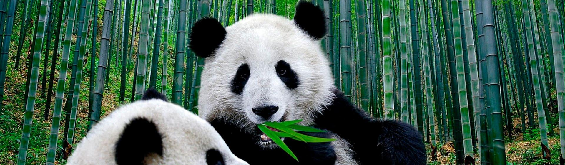 Панды - Женские свитшоты