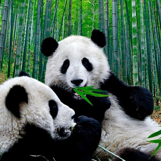 Костюмы с пандами