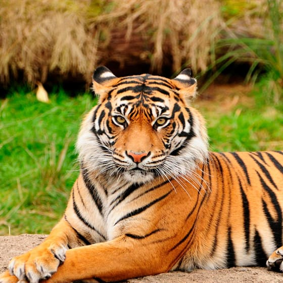 Женские свитшоты с тиграми