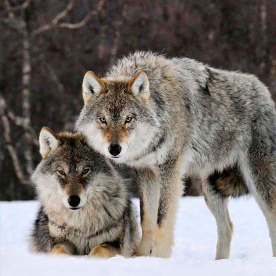 Футболки с волками