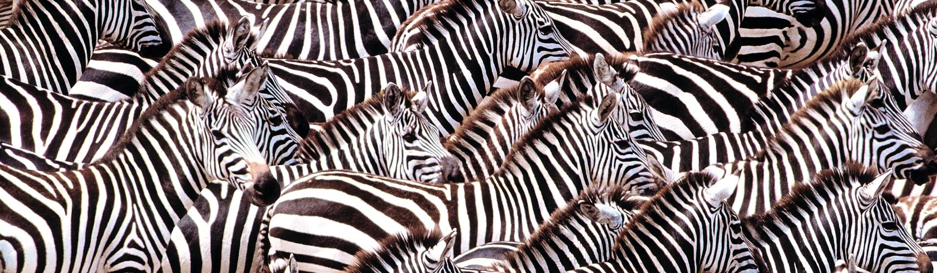 Зебры - Зимние куртки
